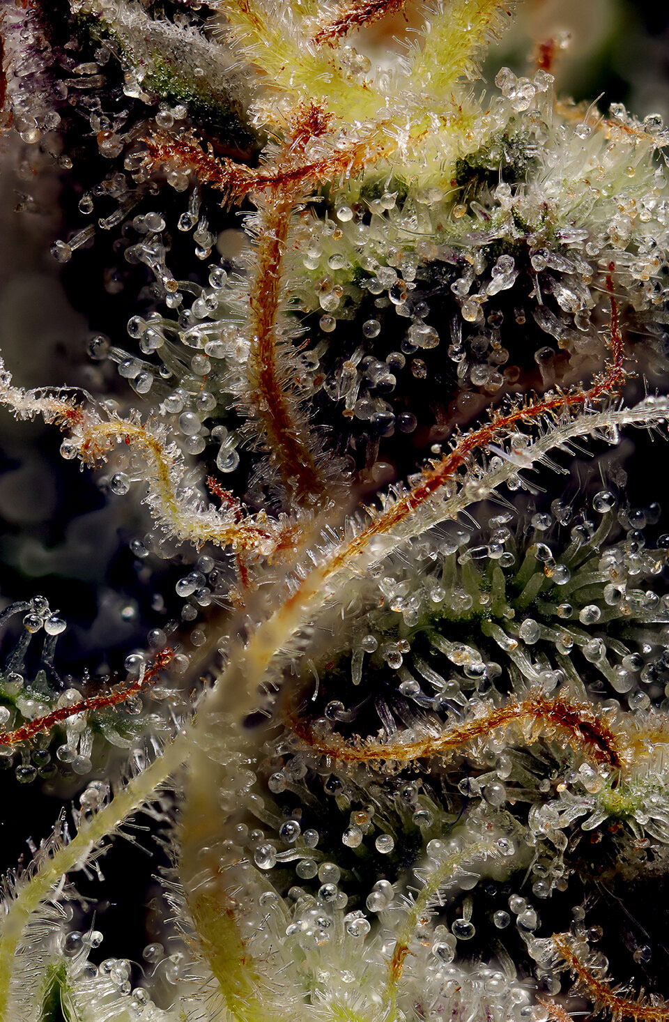 dominic-perri-cannabis-flower-macro-05